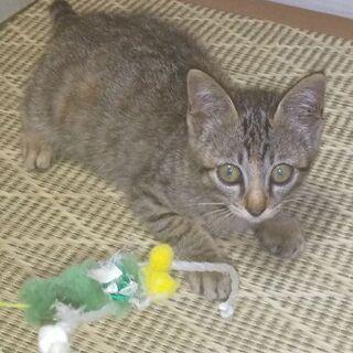 保護猫(3ヶ月位、キジトラ、メス)もらって下さい!