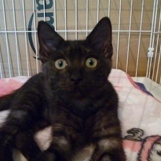 甘えたな珍しいブラックスモークの子猫!