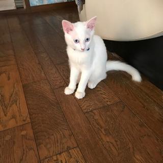 生後2ヶ月白猫兄弟(青目・金目)トライアルご希望入りました…