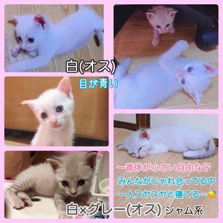 生後1ヶ月程♡子猫4匹 - 猫