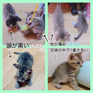 生後1ヶ月程♡子猫4匹 - 倉吉市