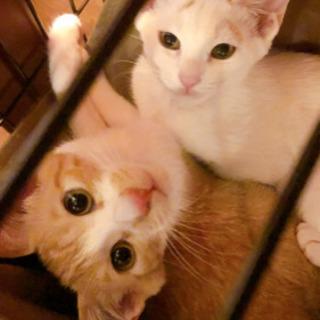 茶白男子 白三毛猫女子 生後4ヶ月