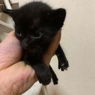 キジトラと黒猫の仔猫 里親募集