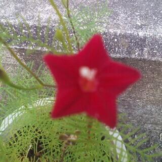 赤花ルコウソウの種(5粒) ルコウソウ 西洋朝顔 夏休み 種