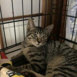 グッチちゃん、4ヶ月の子猫、里親募集 - 防府市
