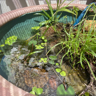 ビオトープ 屋外水槽にオススメ水草8種セット 大量