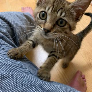★子猫ゆずります★キジトラ2カ月・女の子★里親募集!