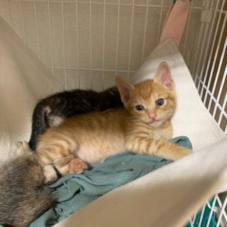 【一旦受付中止】トラトラ兄妹1ヶ月子猫 − 福岡県