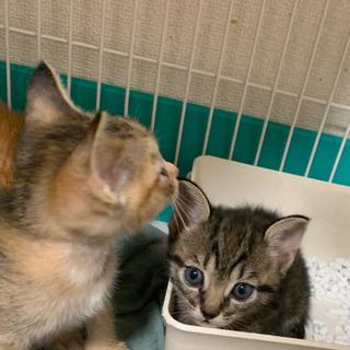 【一旦受付中止】トラトラ兄妹1ヶ月子猫 - 福岡市