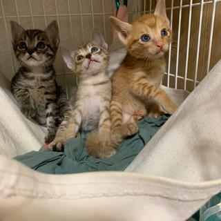 【一旦受付中止】トラトラ兄妹1ヶ月子猫 - 里親募集