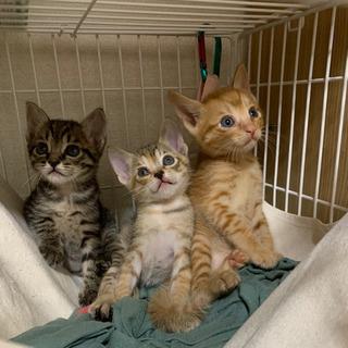 【一旦受付中止】トラトラ兄妹1ヶ月子猫