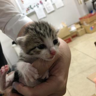 キジトラ子猫を保護しました(新規募集停止を一旦停止します)の画像