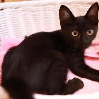 元気いっぱい黒猫さん(3ヶ月齢~3ヶ月半)