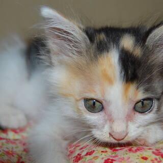 とても可愛い三毛仔猫(♀)です。