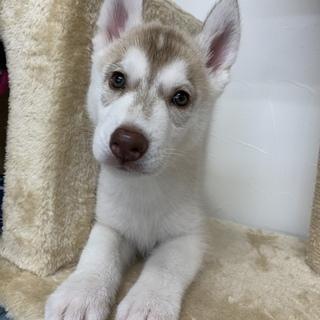 2ヶ月ハスキー子犬里親募集 投稿文をよくご確認ください。