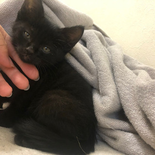 黒猫生後2ヶ月 ぶぶちゃん - 猫