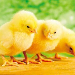 鶏を育ててみませんか?