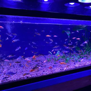 鯉子 錦鯉の稚魚、幼魚です。 今年生まれた鯉の稚魚です