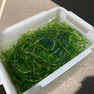 アナカリス 水草 ②