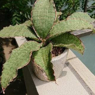 あげます/ 多肉植物(サンスベリア、ユーフォルビア)