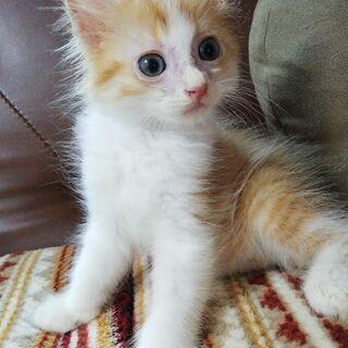 約2ヶ月の長毛茶トラの子猫ちゃんです☆