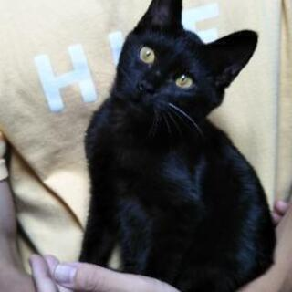 推定4ヶ月の黒い子猫ちゃん 女の子の画像