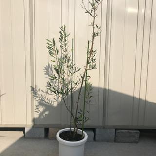 引渡し者決定しました 0円オリーブの木