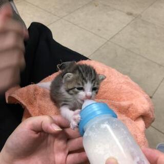 キジトラ子猫を保護しました(新規募集停止を一旦停止します) - 猫