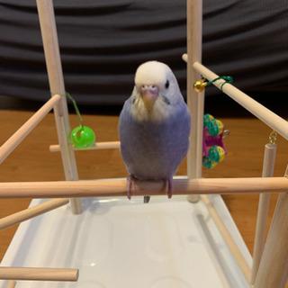 セキセイインコ幼鳥(7月上旬生まれ)里親、候補決まりました。