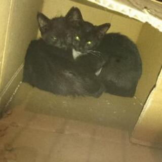 黒猫兄弟(2~3カ月ぐらい)