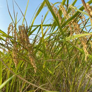 🌾完売しました🌾2020年産🌾新米コシヒカリ✨玄米60kg…