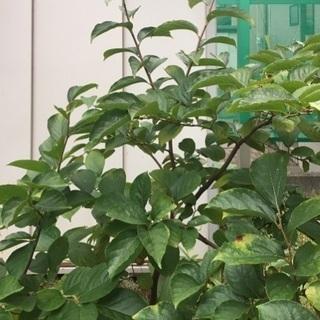 果樹の苗木
