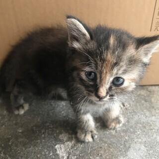 生後一ヶ月ぐらいの子猫ちゃんの里親募集