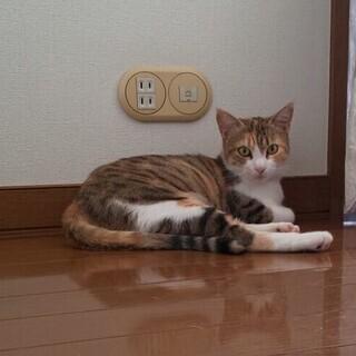 三毛猫 雑種 推定2歳のメス