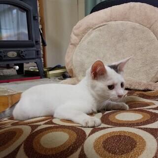 生後3か月くらいの女の子(里親様決まりました) - 猫