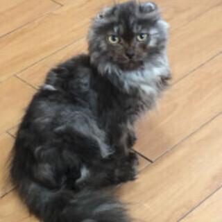 アメリカンカール・優しい人懐っこい♪ブラック柄の猫♪
