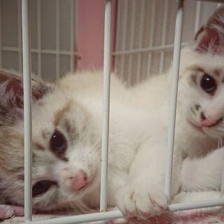 生後約2ヶ月の子猫 シャム系MIX 2匹一緒に迎えて頂ける…