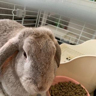 ウサギ♀ ホーランドロップ