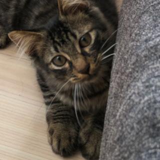 3ヶ月の男の子の茶黒色の野良猫