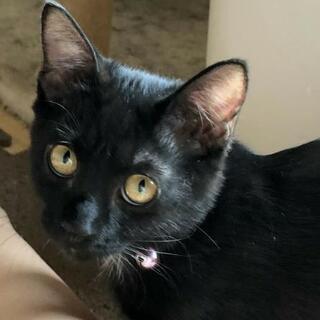 可愛い黒猫ちゃん  女の子  3カ月くらい