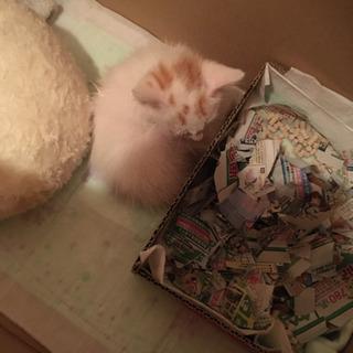 生後2ヶ月 子猫の男の子です