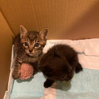子猫生後1ヶ月くらい - 猫