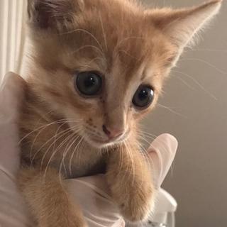 キジ(麦わらっぽい)♀2ヶ月くらい - 猫
