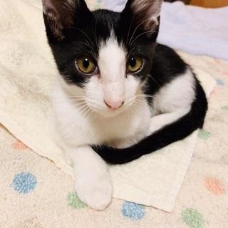 【スリゴロの甘えん坊】白黒ハチワレのしおくん⭐︎生後3ヶ月