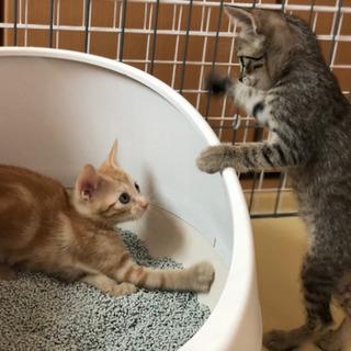 親子で捨てられたキジ猫の女の子(トライアル予定★)