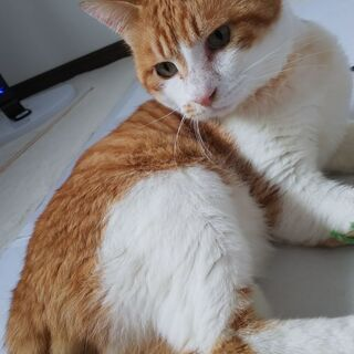 急募  茶白トラ♂猫 終生飼育してくださる方!!