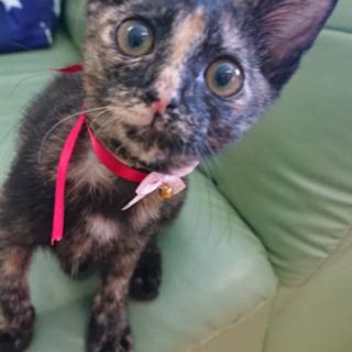 サビちゃん♀4ヶ月未満 - 猫