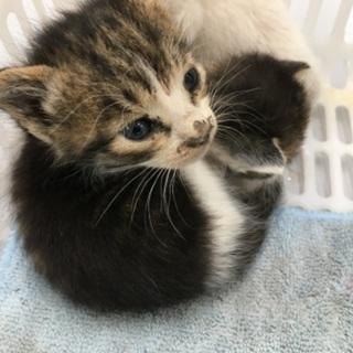 仔猫を可愛がってくれる方を探しています(2匹は決まりました) − 福井県