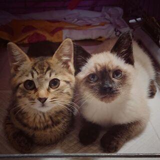 生後2ヶ月弱の子猫達~ 兄妹一緒に迎えて頂ける方に