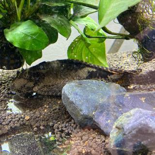 プレコ 熱帯魚